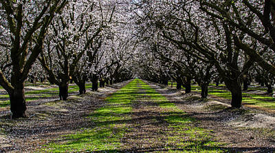 Almond Grove Art Print
