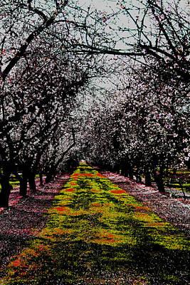 Almond Trees In Bloom Art Print