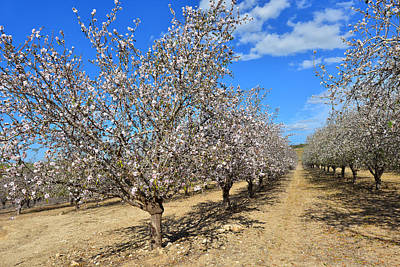 Almond Trees Art Print