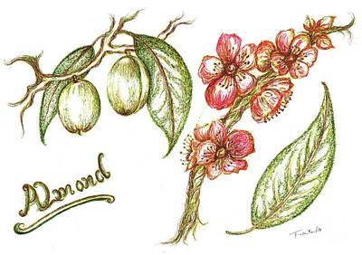 Shed Drawing - Almond With Flowers by Teresa White