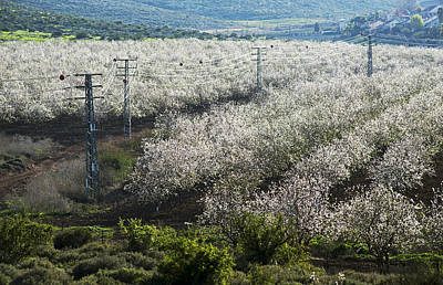 Photograph - Almonds At Mt Gilboa Israel 1 by Dubi Roman