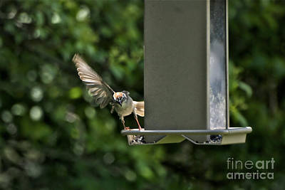 Art Print featuring the photograph Almost A Ruff Bird Landing by Thomas Woolworth