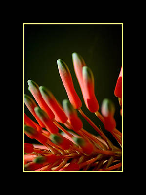 Photograph - Aloe Bloom Window 2 by David Weeks