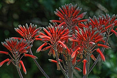 Photograph - Aloe Plant Blossom by HH Photography of Florida