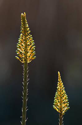 Aloe Plant Art Print