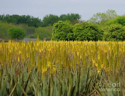 Photograph - Aloe Vera Field by Rachel Munoz Striggow