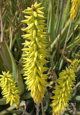 Photograph - Aloe Vera Flower Spikes by Rachel Munoz Striggow