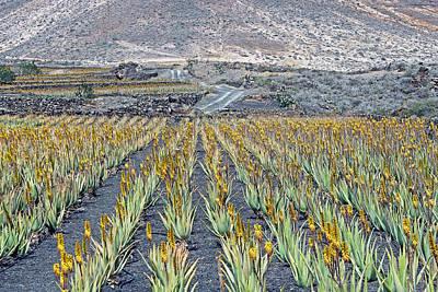 Photograph - Aloe Vera Plantation by Tony Murtagh