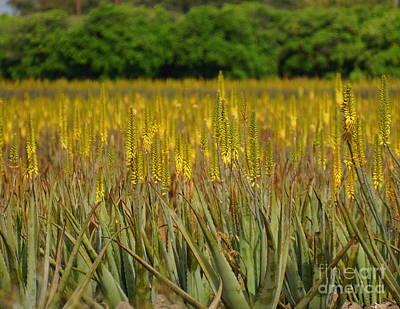 Photograph - Aloe Vera Plants by Rachel Munoz Striggow