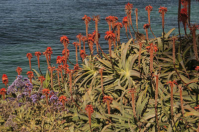 Photograph - Aloes by Lee Kirchhevel