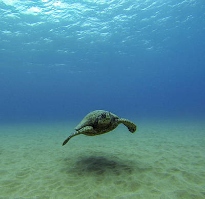 Hawaiian Green Sea Turtle Photograph - Alone At Sea by Brad Scott