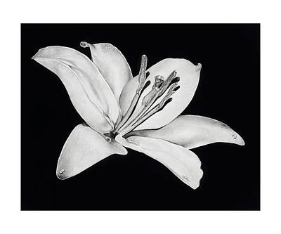 Lilies Drawings - Alone And Strong by V Hollar