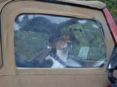 Photograph - Along For The Ride Beagle Dog by rd Erickson