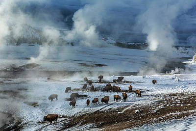 Grazing Snow Photograph - Along The Firehole River In The Upper by Michael Nichols