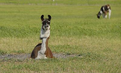 Photograph - Alpaca by Charles Beeler