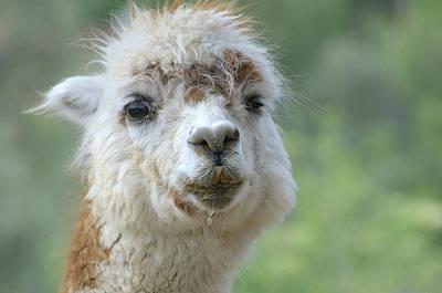 Photograph - Alpaca Grin by Fraida Gutovich