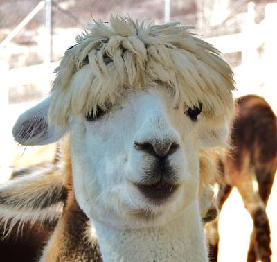 Photograph - Alpaca Hair Do by Helen Carson