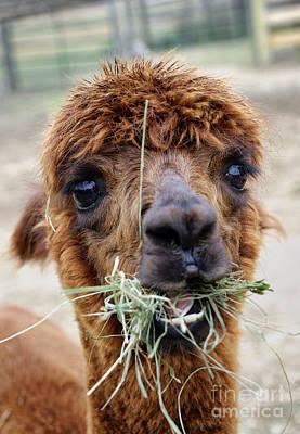 Alpacas Photograph - Alpaca  by John Greim