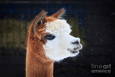 Alpaca Profile Art Print by Rebecca Brooks