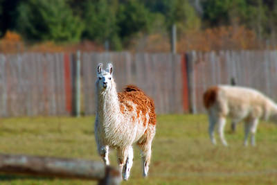 Photograph - Alpaca by Rhonda Humphreys