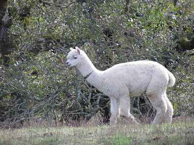 Photograph - Alpaca Stroll by Bonnie Muir