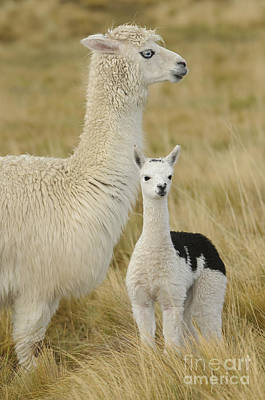 Photograph - Alpaca With Young by John Shaw