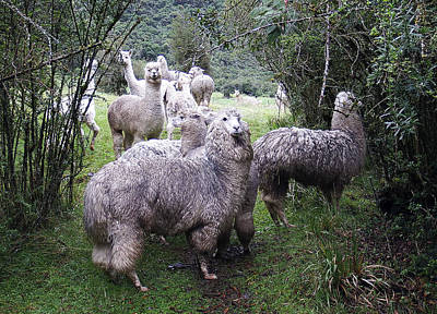 Photograph - Alpacas Ecuador by Kurt Van Wagner