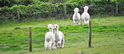 Alpacas In Ireland Art Print