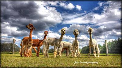 Alpacas Photograph - Alpacas by John Loreaux
