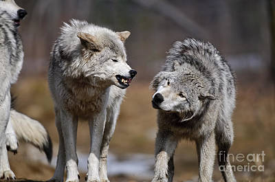 Art Print featuring the photograph Alpha Displeasure by Wolves Only