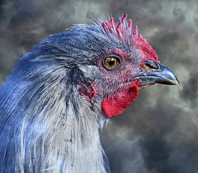 Rooster Photograph - Alpha  by Betsy Knapp