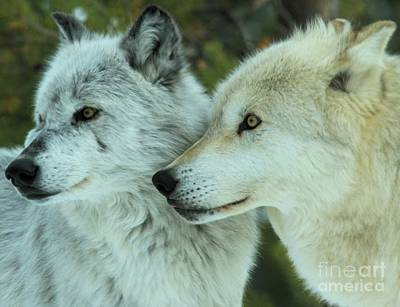 Of Alpha Wolf Photograph - Alpha Girl And Beta by Adam Jewell
