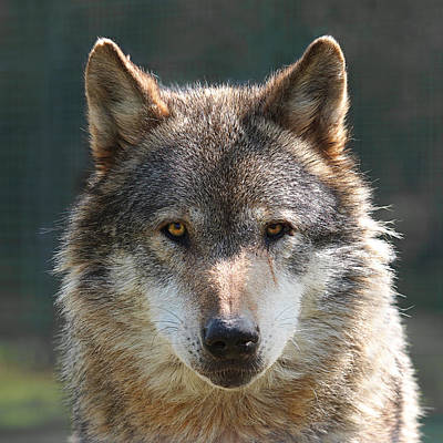 Photograph - Alpha Male Wolf - I'm Watching You by Gill Billington