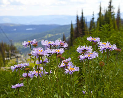 Chair Lift Photograph - Alpine Asters by Theresa Tahara