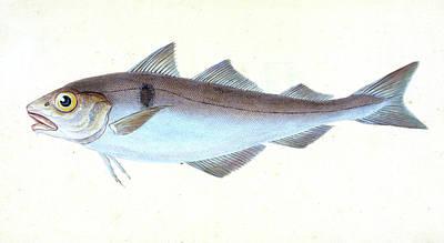 Alpine Charr, Salmo Alpinus, 1804, British Fishes Art Print