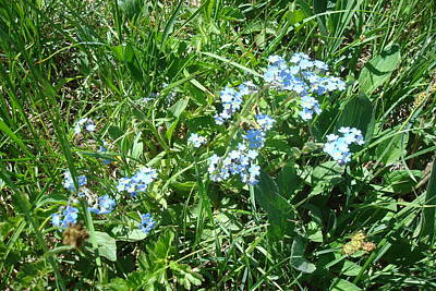 Photograph - Alpine Forget Me Not by Susan Woodward