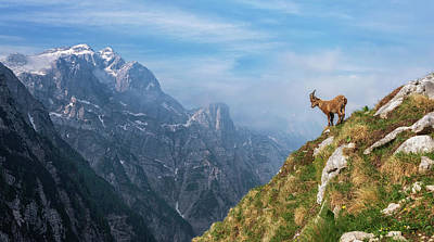 Alps Photograph - Alpine Ibex In The Mountains by Ales Krivec