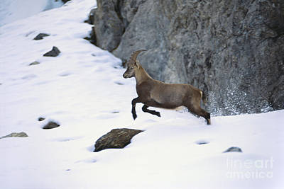 Balance Of Nature Photograph - Alpine Ibex Jumping by Art Wolfe