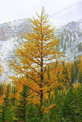 Photograph - Alpine Larch by Ramona Johnston