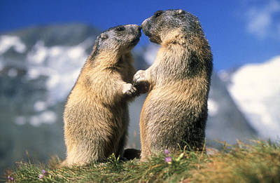 Photograph - Alpine Marmots by Duncan Usher