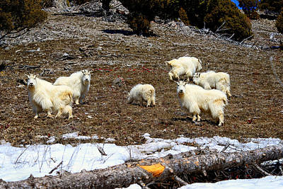 Photograph - Alpine Mountain Goats by Greg Norrell