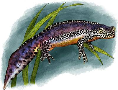Photograph - Alpine Newt by Roger Hall