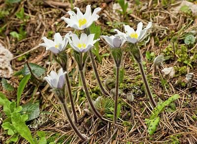 Pulsatilla Photograph - Alpine Pasqueflowers (pulsatilla Alpina) by Bob Gibbons