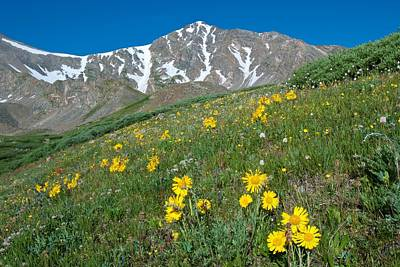 Photograph - Alpine Sunflower And Gray's Peak by Cascade Colors