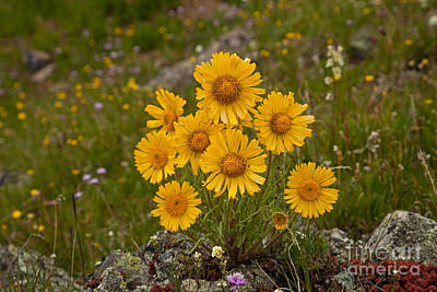 Photograph - Alpine Sunflower In California Gulch by Fred Stearns