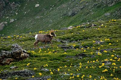 Photograph - Alpine Sunflowers And Bighorn Ram by Tranquil Light  Photography