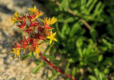 Photograph - Alpine Wildflower by Richard Smith