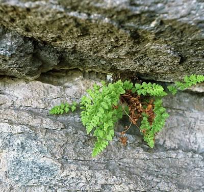 Pteridophyte Photograph - Alpine Woodsia (woodsia Alpina) Fern by Bob Gibbons