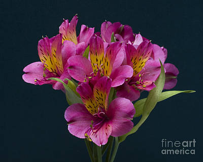 Art Print featuring the photograph Alstroemeria Cluster by ELDavis Photography