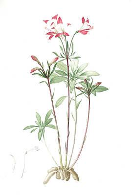 Inca Drawing - Alstroemeria, Alstroemeria Ligtu Inca Lily, Peruvian Lily by Artokoloro